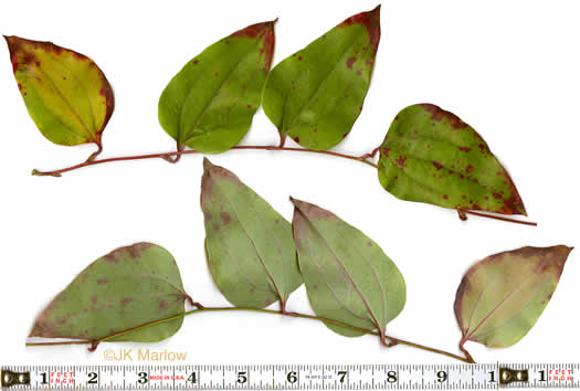glabrous: Smilax rotundifolia, Common Greenbrier, Common Catbrier, Bullbrier, Horsebrier