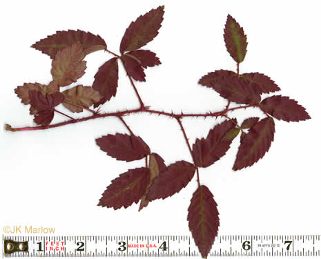 image of Rubus trivialis, Southern Dewberry, Coastal Plain Dewberry