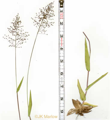 culm: Dichanthelium longiligulatum, Long-ligule Witchgrass