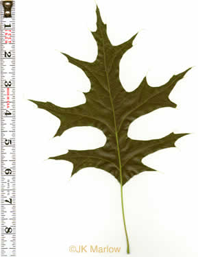Quercus palustris, Pin Oak