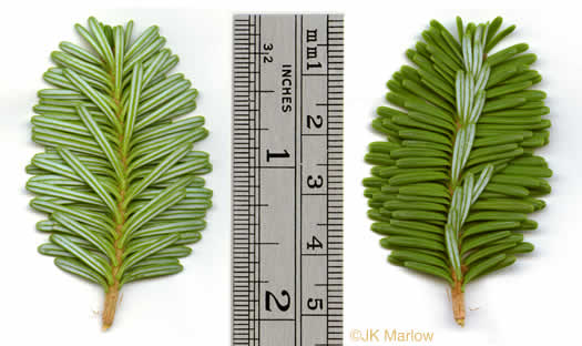 leaf or frond of Abies fraseri, Fraser Fir, She Balsam, Southern Balsam