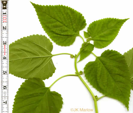 leaf or frond of Fatoua villosa, Mulberry-weed, Crabweed, Foolish-weed