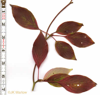 image of Cornus alternifolia, Alternate-leaf Dogwood, Pagoda Dogwood, Pagoda Cornel