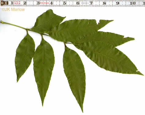 pinnately compound leaves of trees: Fraxinus pennsylvanica, Fraxinus pennsylvanica, Fraxinus pennsylvanica +