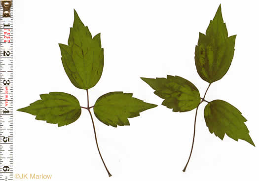pinnately compound leaves of vines: Clematis virginiana, Clematis virginiana, Clematis virginiana