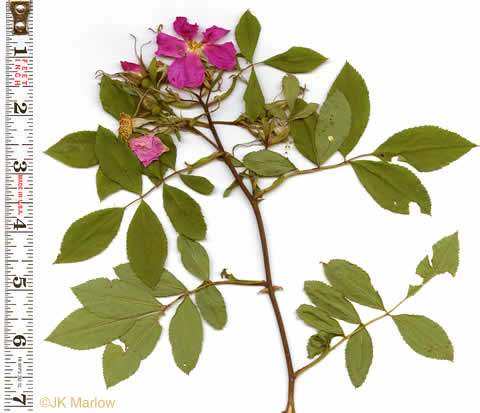 pinnately compound leaves of shrubs: Rosa palustris, Rosa palustris, Rosa palustris