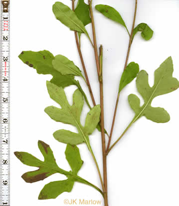 image of Nabalus trifoliolatus, Gall-of-the-earth