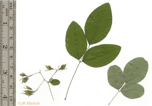 pinnately compound leaves of shrubs: Lespedeza bicolor, Lespedeza bicolor, Lespedeza bicolor