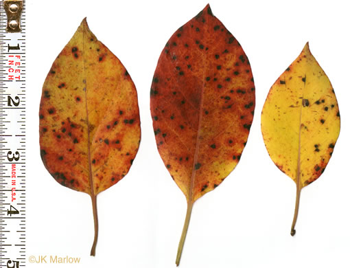 leaf or frond of Diospyros virginiana, American Persimmon, Common Persimmon, Simmon