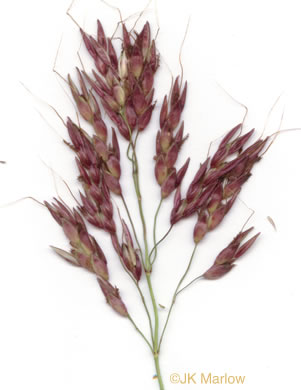 sessile: Sorghum halepense, Johnsongrass