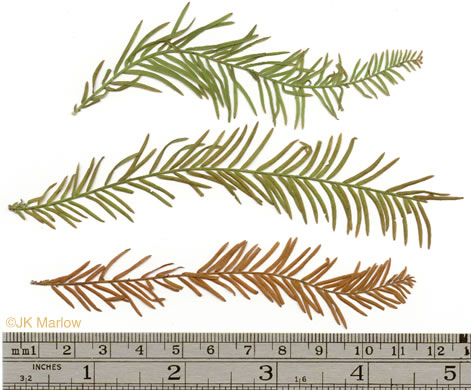 image of Taxodium distichum, Bald Cypress