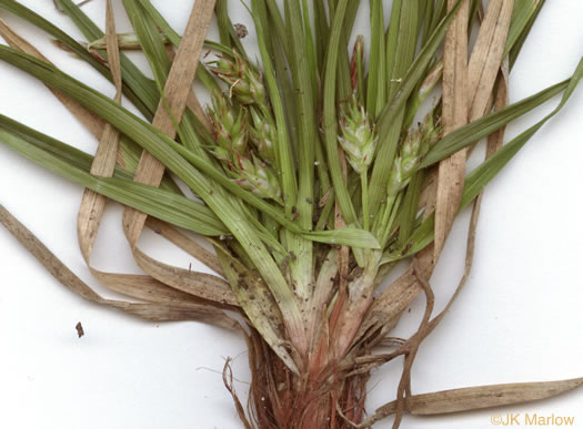 picture of Carex umbellata, image of Carex umbellata