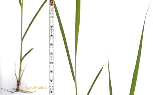 image of Sorghastrum nutans, Yellow Indiangrass, Prairie Indiangrass