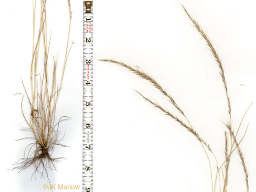 culm: Festuca myuros, Rat-tail Fescue