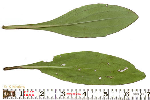image of Trilisa odoratissima, Vanilla-leaf, Deer's-tongue, Pineland Purple
