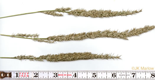 image of Tridens strictus, Longspike Tridens, Longspike Fluffgrass, Spike Triodia