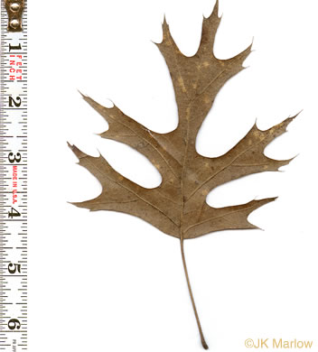 Quercus shumardii, Shumard Oak, Swamp Red Oak