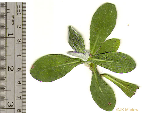 image of Pilosella officinarum