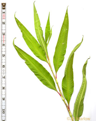 image of Persicaria lapathifolia, Dockleaf Smartweed, Willow-weed, Pale Smartweed