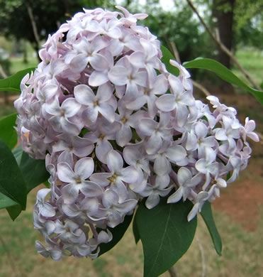 flower of Syringa vulgaris, Common Lilac, French Lilac