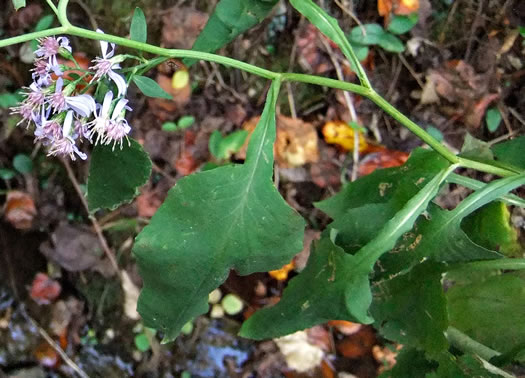 image of Symphyotrichum urophyllum, White Arrowleaf Aster, Arrowleaf Blue Wood Aster