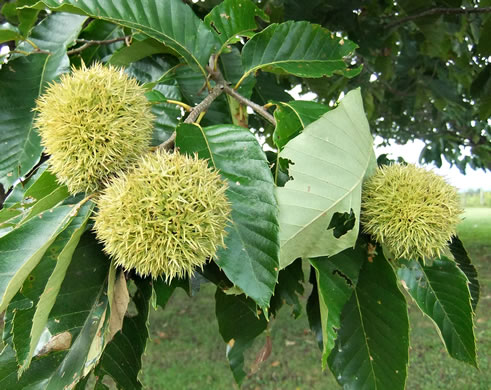 image of Castanea mollissima, Chinese Chestnut