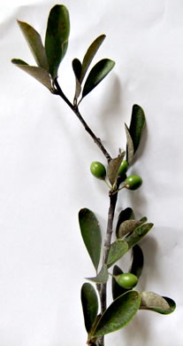 image of Sideroxylon tenax, Tough Bumelia, Tough Buckthorn, Tough Bully