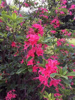 image of Rhododendron cumberlandense