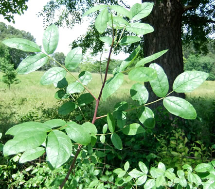 elliptical: Zanthoxylum americanum, Prickly-ash, Toothache Tree, Northern Prickly-ash