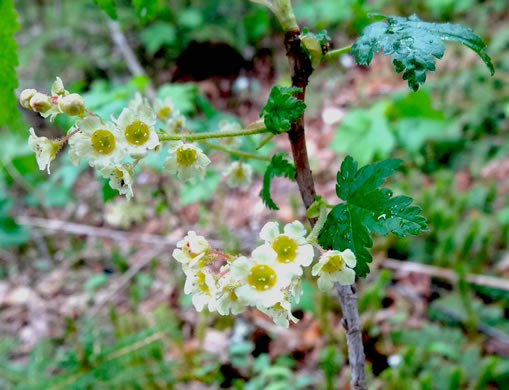 pedicel: Ribes glandulosum, Skunk Currant, Mountain Currant
