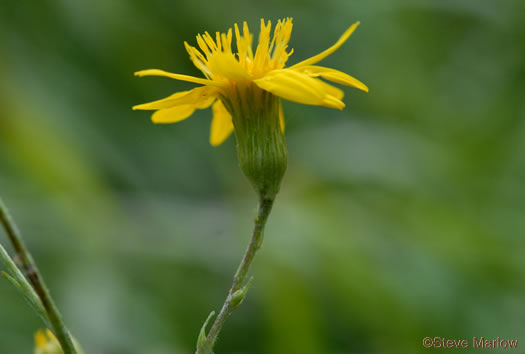 image of Pityopsis nervosa, Common Silkgrass, Grassleaf Goldenaster