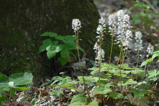 Tiarella wherryi, Common Foamflower, False Miterwort