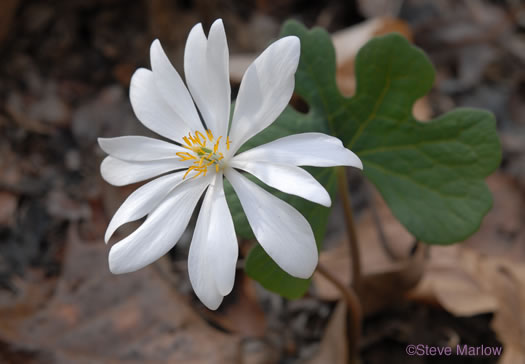 image of Sanguinaria canadensis, Bloodroot, Red Puccoon