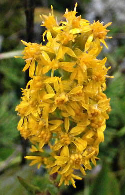 image of Solidago roanensis, Roan Mountain Goldenrod
