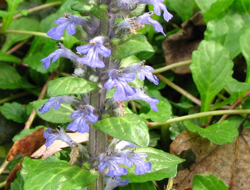 flower of Ajuga reptans, Carpet Bugle, Bugle-weed