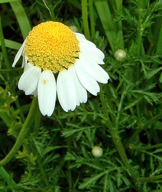 picture of Anthemis arvensis, image of Anthemis arvensis