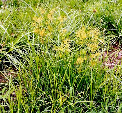 image of Cyperus esculentus +, Yellow Nutsedge, Yellow Nutgrass, Wild Chufa, Earth-almond