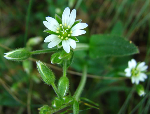 image of Cerastium fontanum ssp. vulgare, Common Mouse-ear, Mouse-ear Chickweed