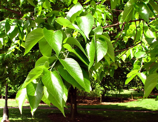 image of Celtis occidentalis, Northern Hackberry