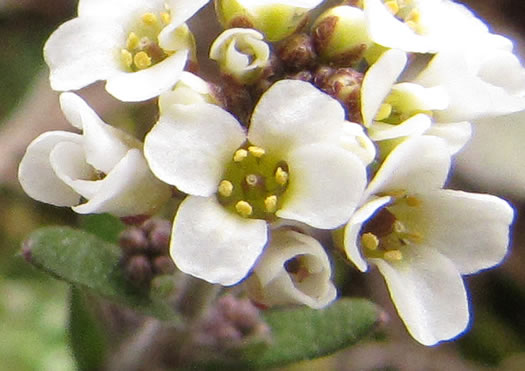flower of Abdra brachycarpa, Short-fruited Draba