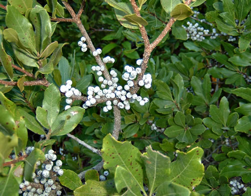 image of Morella pensylvanica, Northern Bayberry