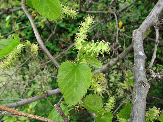 flower of Morus alba, White Mulberry, Silkworm Mulberry, Russian Mulberry
