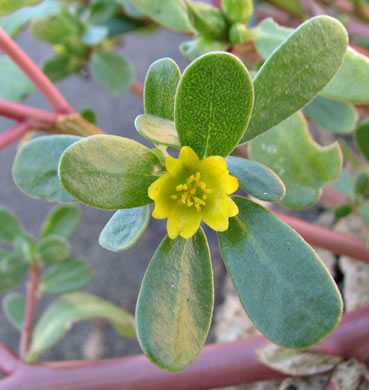 flower of Portulaca oleracea, Common Purslane, Garden Purslane, Pussley
