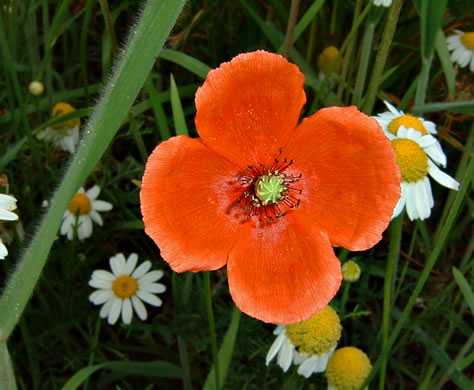 flower of Papaver dubium, Long-headed Poppy, Blind Eyes