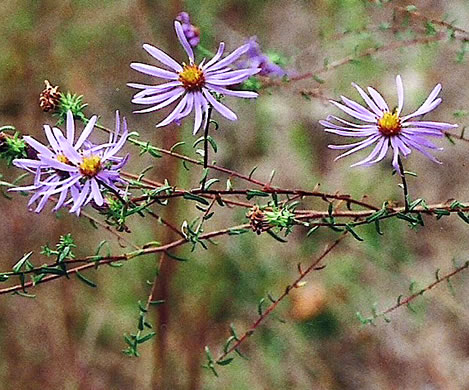 flower of Symphyotrichum grandiflorum, Big-headed Aster, Rough Aster, Large-headed Aster, Largeflower Aster