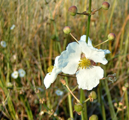 image of Sagittaria lancifolia var. media, Duck Potato