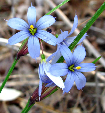 sessile: Sisyrinchium mucronatum, Needletip Blue-eyed Grass