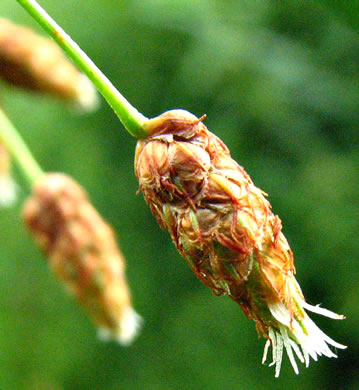image of Schoenoplectus tabernaemontani, Softstem Bulrush, Great Bulrush
