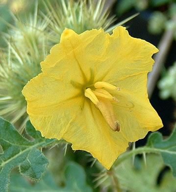 flower of Solanum rostratum, Buffalo-bur, Kansas-thistle