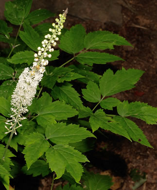 image of Actaea racemosa, Common Black Cohosh, Early Black Cohosh, Black Snakeroot